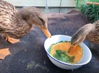 メロンを食べるアイガモさん
