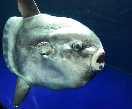 サンシャイン水族館マンボウ