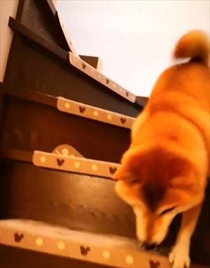 柴犬チャーミーちゃん