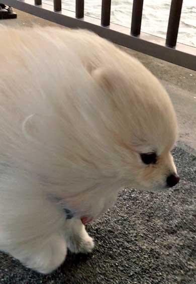 強風に煽られる犬 粘土細工 ポメラニアン 流線型 2足歩行