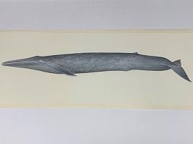 国立科学博物館 「世界の鯨」ポスター