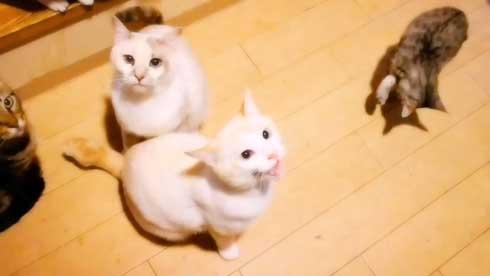 ご飯 催促 猫 違和感なく 混ざる 柴犬 子犬