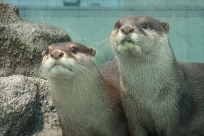 サンシャイン水族館 コツメカワウソ誕生