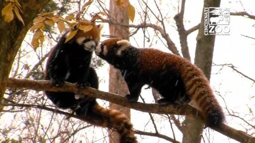 雪の中のレッサーパンダ