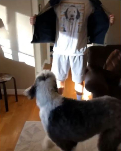Otis The Sheepadoodle