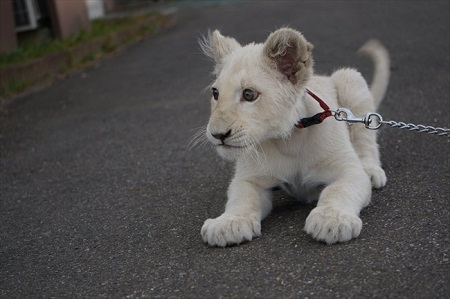 東北サファリ ホワイトライオン