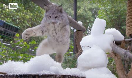 雪にとびかかるオオヤマネコ