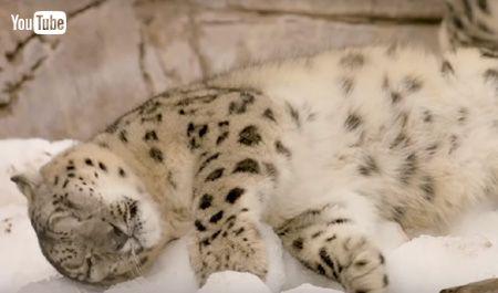 雪に寝転がるユキヒョウ