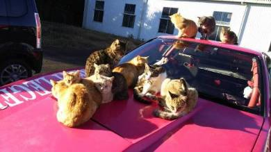 ボンネットにネコいっぱい