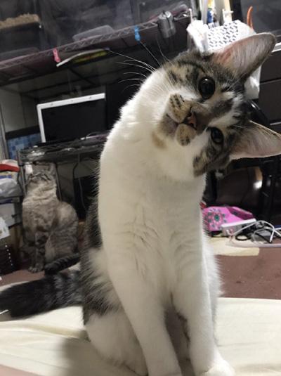 首をかしげる猫ちゃん