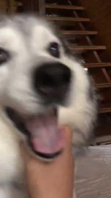 出迎え 盛大 ハスキー犬 愛犬 おかえり 鳴き声 かわいい