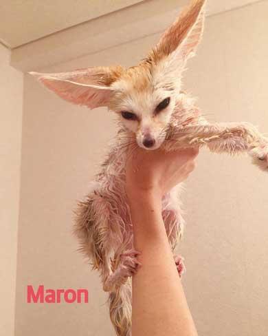 フェネック 風呂 シャンプー もふもふ ふかふか maron__0626
