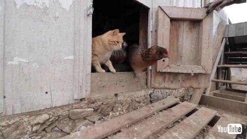 鶏小屋のネコ