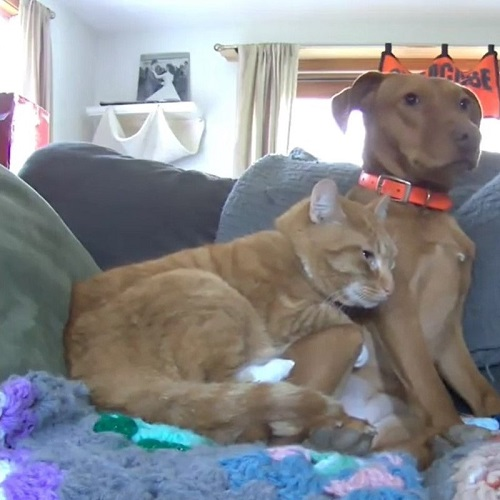 cat and vizsla