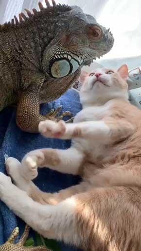 イグアナ 猫 交流 なでてほしそう すれ違い