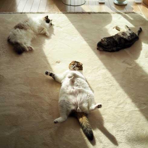 コタツ 足のばせない 理由 猫 寝てる どんぐり