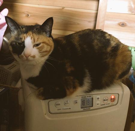 炊飯器の上にゃんこ