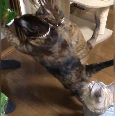 猫草 待ちきれない がっつく サビ柄 猫