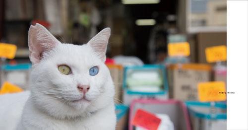 オッドアイ白猫