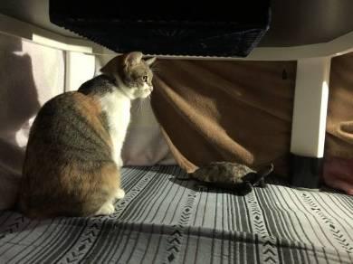 腕相撲ネコ