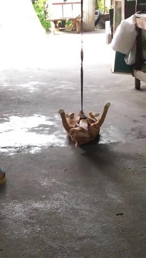 引きずられる猫