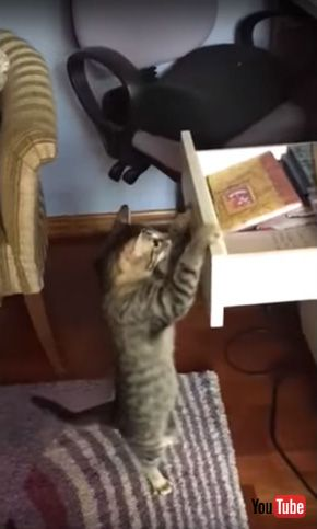 Cat Opens Drawer to Get Snack