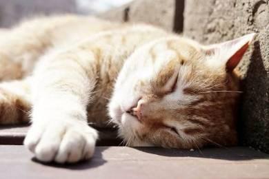 ネコ チンアナゴ