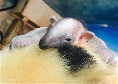伊豆シャボテン動物公園 ミナミコアリクイ
