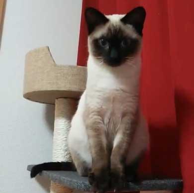猫 シャム タイ 品種 見た目 違い