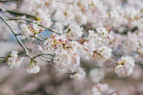 桜 ネコ 枝の上