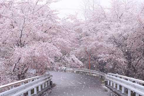桜 雪 コラボ 写真 桜隠し 秩父 きれい