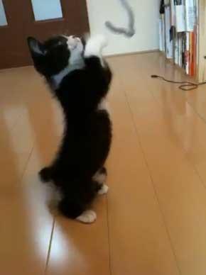 猫 成長 いとおしさ 増す 子猫 大きく かわいい さぶのすけ