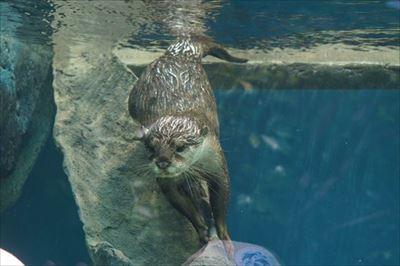サンシャイン水族館 カワウソの日