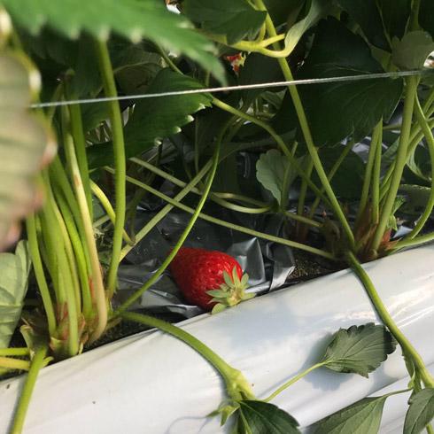 イチゴが放置されている様子