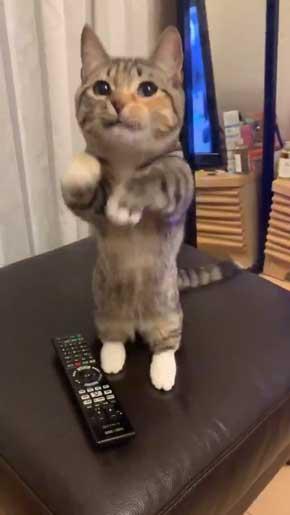 よく立つ 猫 猫背じゃない マンチカン