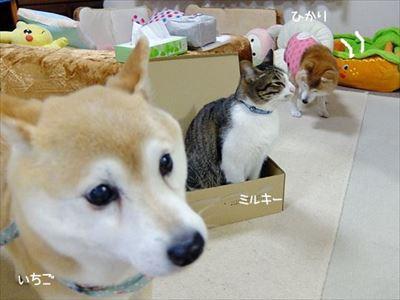柴犬ひかりといちごと猫ミルキー