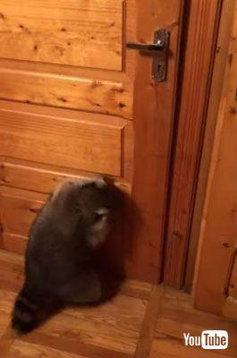 ドアから降りるアライグマ