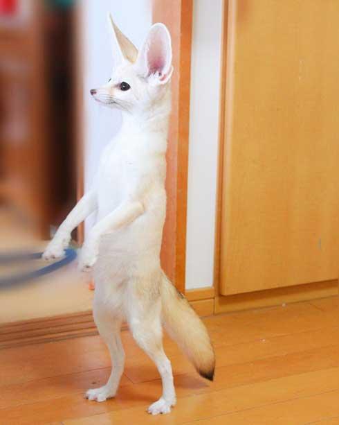 よく立つ キツネ 狐 フェネック マロン チャイ 歩く