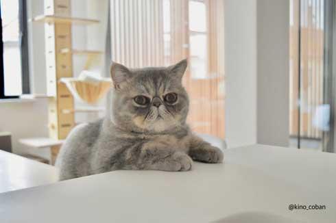 モノノ怪 猫 エキゾチックショートヘア 妖怪 いどまじん