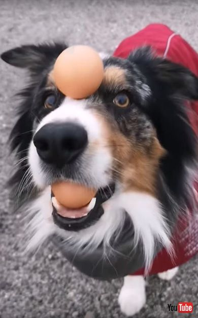 Talented Dog Does Impressive Balancing Act