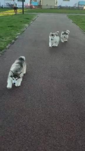 アラスカンマラミュート 子犬 でっかい