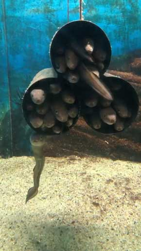 入りたいのに入れない 入ってる気持ちになってる マアナゴ 須磨海浜水族園