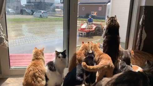 田植えに興味津々な猫