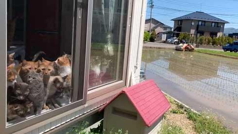 田植え 興味津々 猫 いっぱい 稲刈り 猫カフェ 柚の家 秋田県