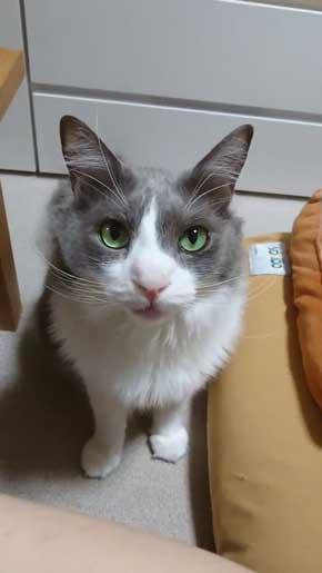 寂しそうな声 名前 呼ぶ うれしそう 喜ぶ 返事 猫 スコティッシュフォールド 甘えん坊