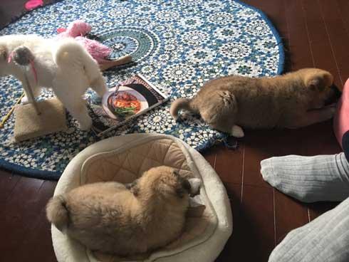 保護 犬 実家 タンスの下 ケルベロス 寝るべロス 3匹 子犬