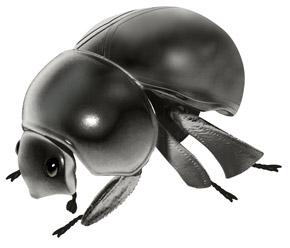 広がった黒いマンマルコガネ
