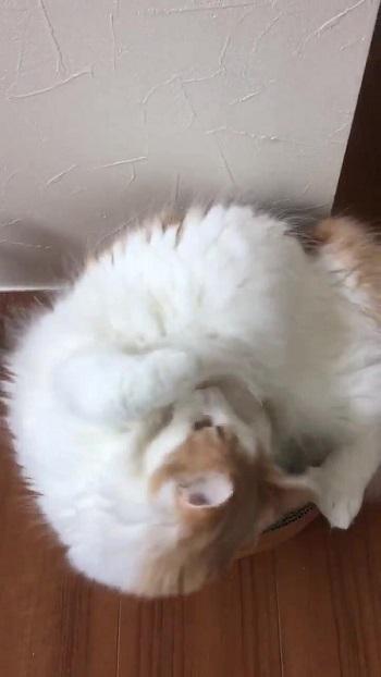 ベッドの中に入ろうとする猫ちゃん
