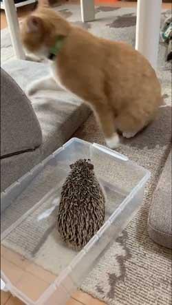 ちょっと触って去って行く 猫 ハリネズミ 猫パンチ