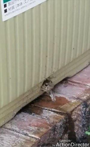 プランターから顔を出すカエルさん